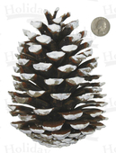 "Pine Cone, Maritima, 4"" to 5-1/2"", White-tipped"